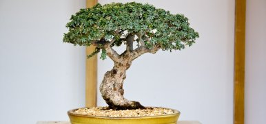 cotoneaster_bonsai_tree_styling