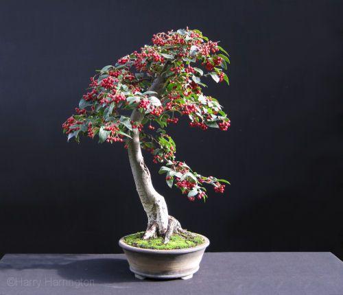 c416f1096795be0d030ec6c23f0013de--bonsai-garden-bonsai-trees