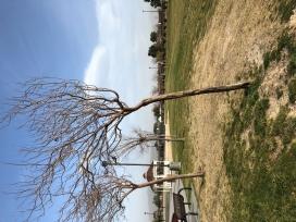 Windswept Desert Willow