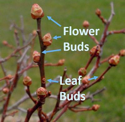 Flower and Leaf Buds