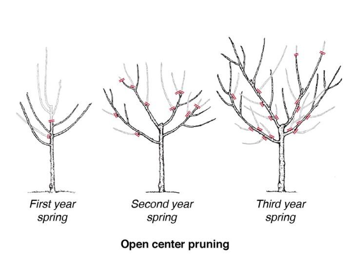 Vase shape fruit tree pruning