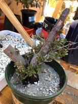Collected Pyracantha Bonsai