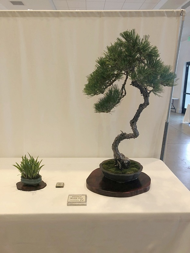 Japanese Black Pine Bonsai Display