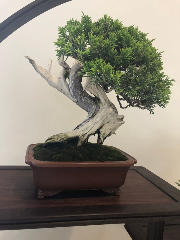 Juniper Chinensis Bonsai Shohin