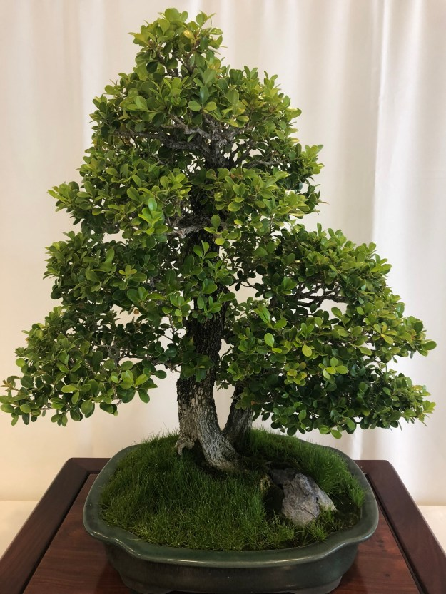 Japanese Boxwood Bonsai Tree