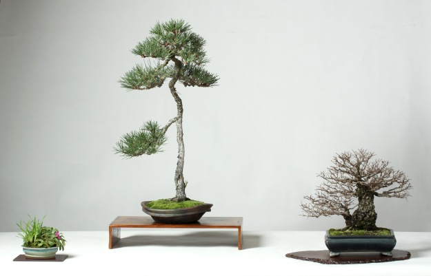 Elm and Pine Bonsai Display