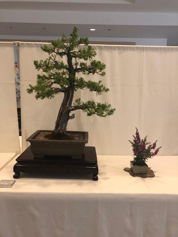 "Juniperus Chinensis ""Tortulosa"""