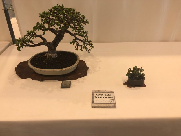 Cork Bark Portulacaria Afra Bonsai