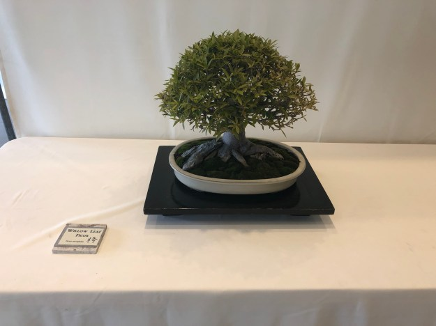 Willow Leaf Ficus Bonsai