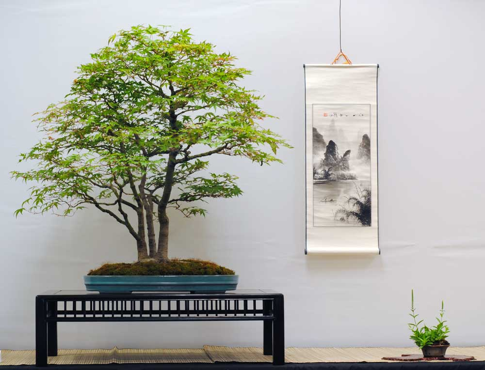 Japanese Maple Bonsai Display