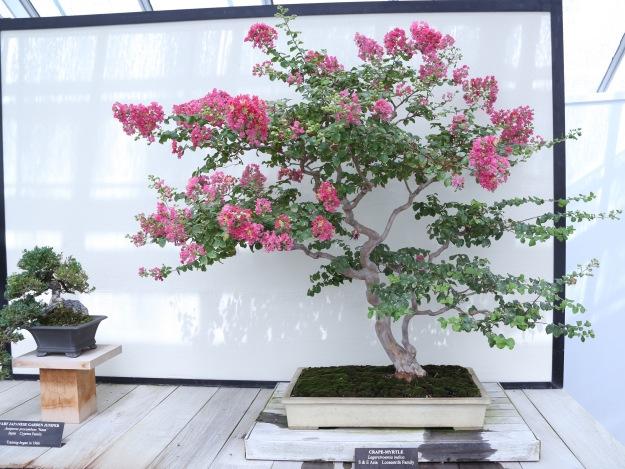 Crape Myrtle Bonsai Tree Flowering