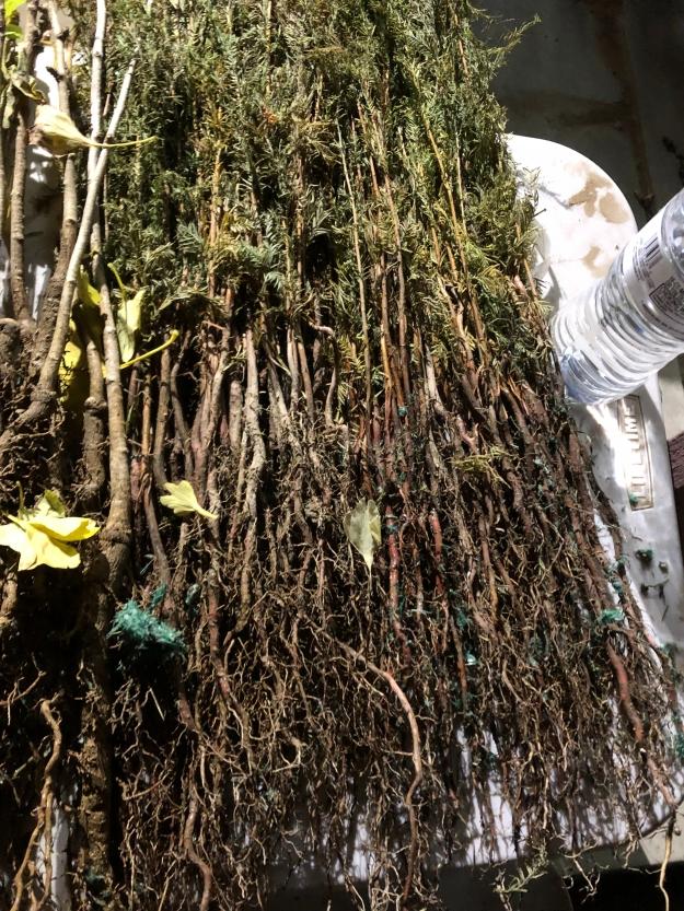 Ginkgo Biloba and Bald Cypress Seedlings