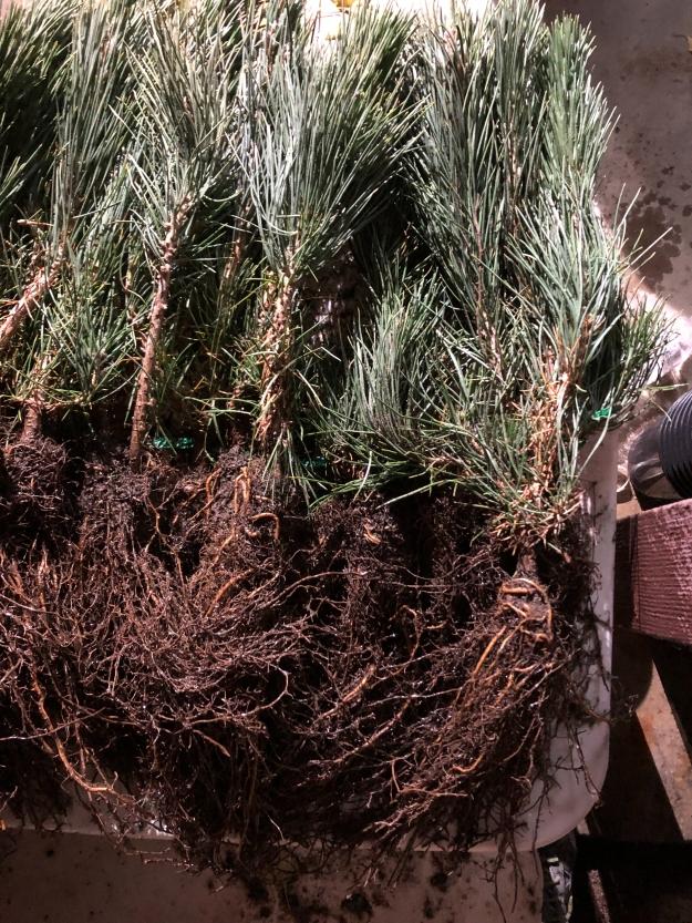 Japanese Black Pine Seedlings
