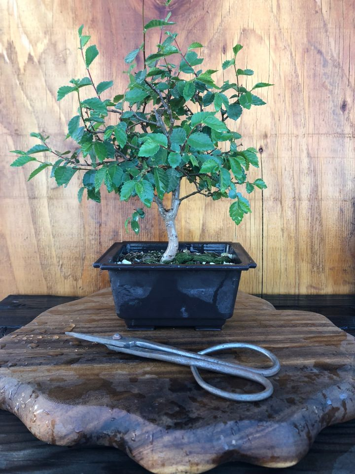 Shohin Chinese Elm Bonsai