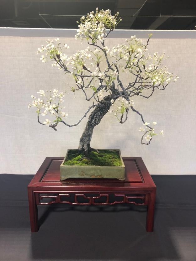 Flowering Pear Bonsai Display