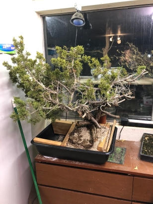 California Juniper Yamadori